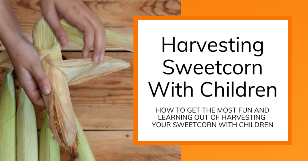 cover image for harvesting sweetcorn with children article