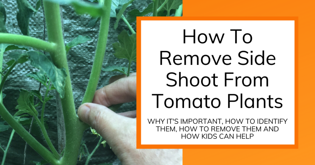 Featured Image for Tomato Side Shoots article