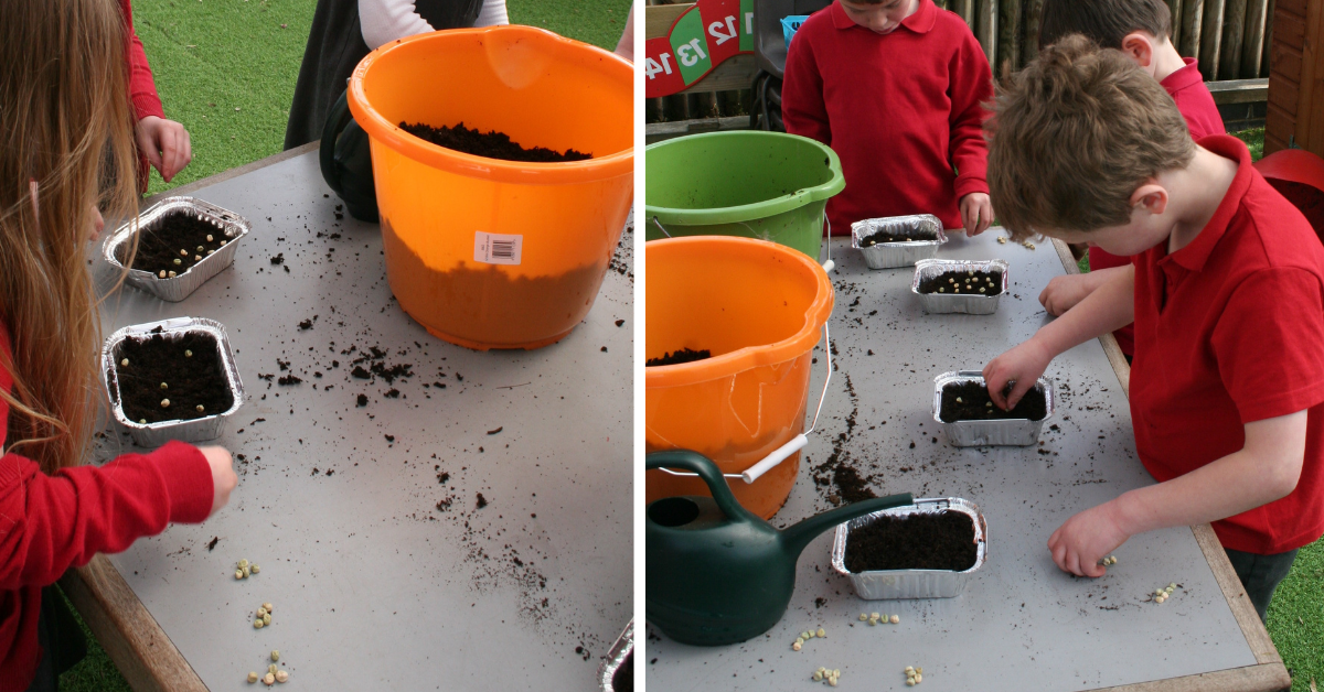 two images of children sowing pea seeds
