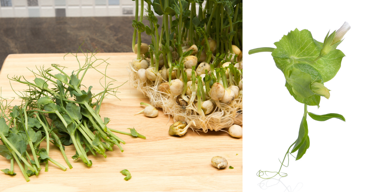 two images of cut pea shoots