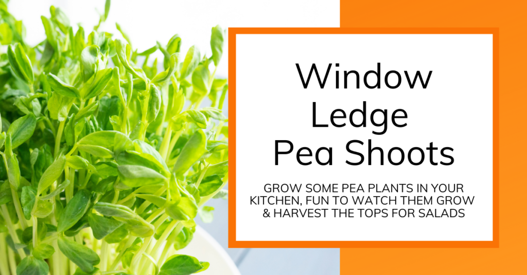 cover image of instructions on growing window ledge pea shoots