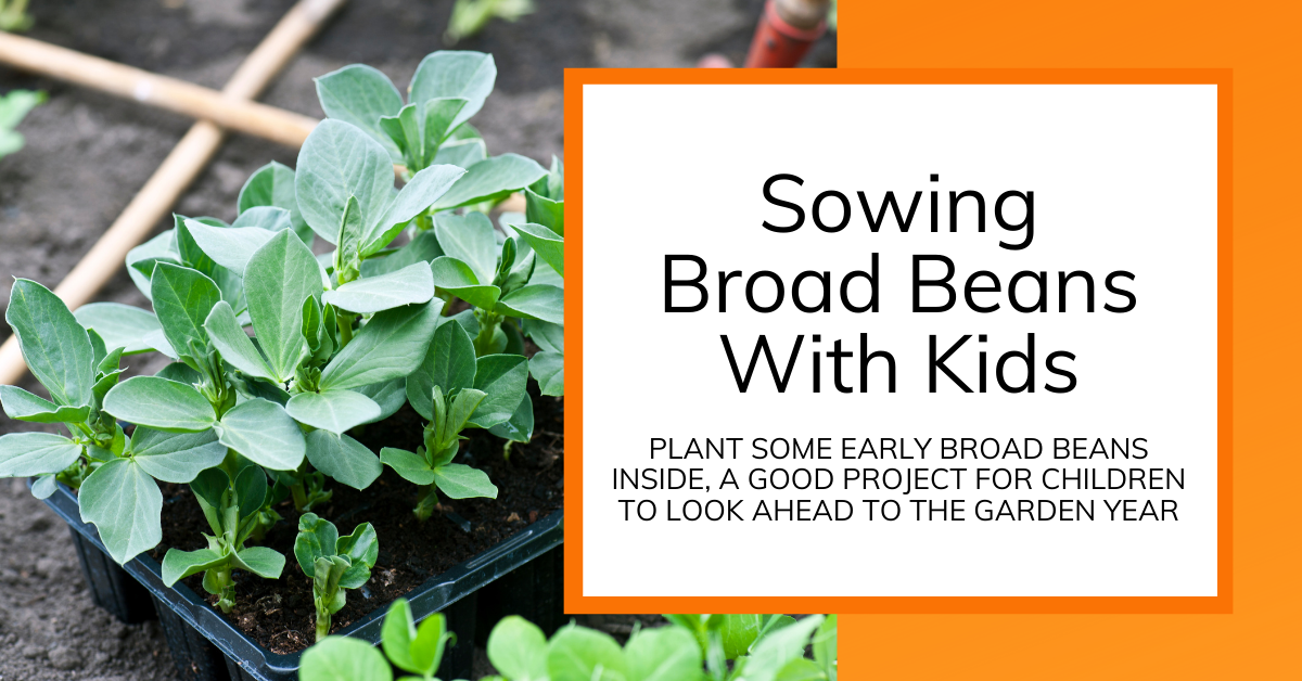 cover image for article about sowing broad beans