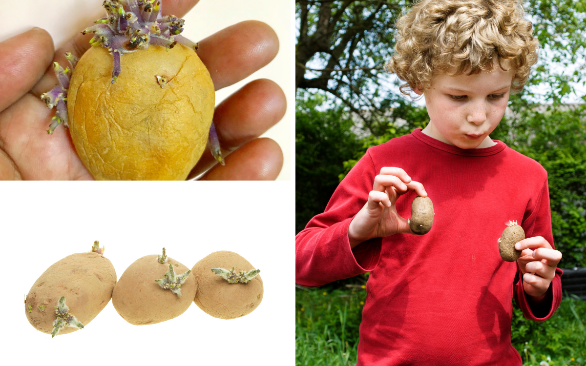 grid of images of observing seed potatoes including a child looking at seed potatoes in his hands