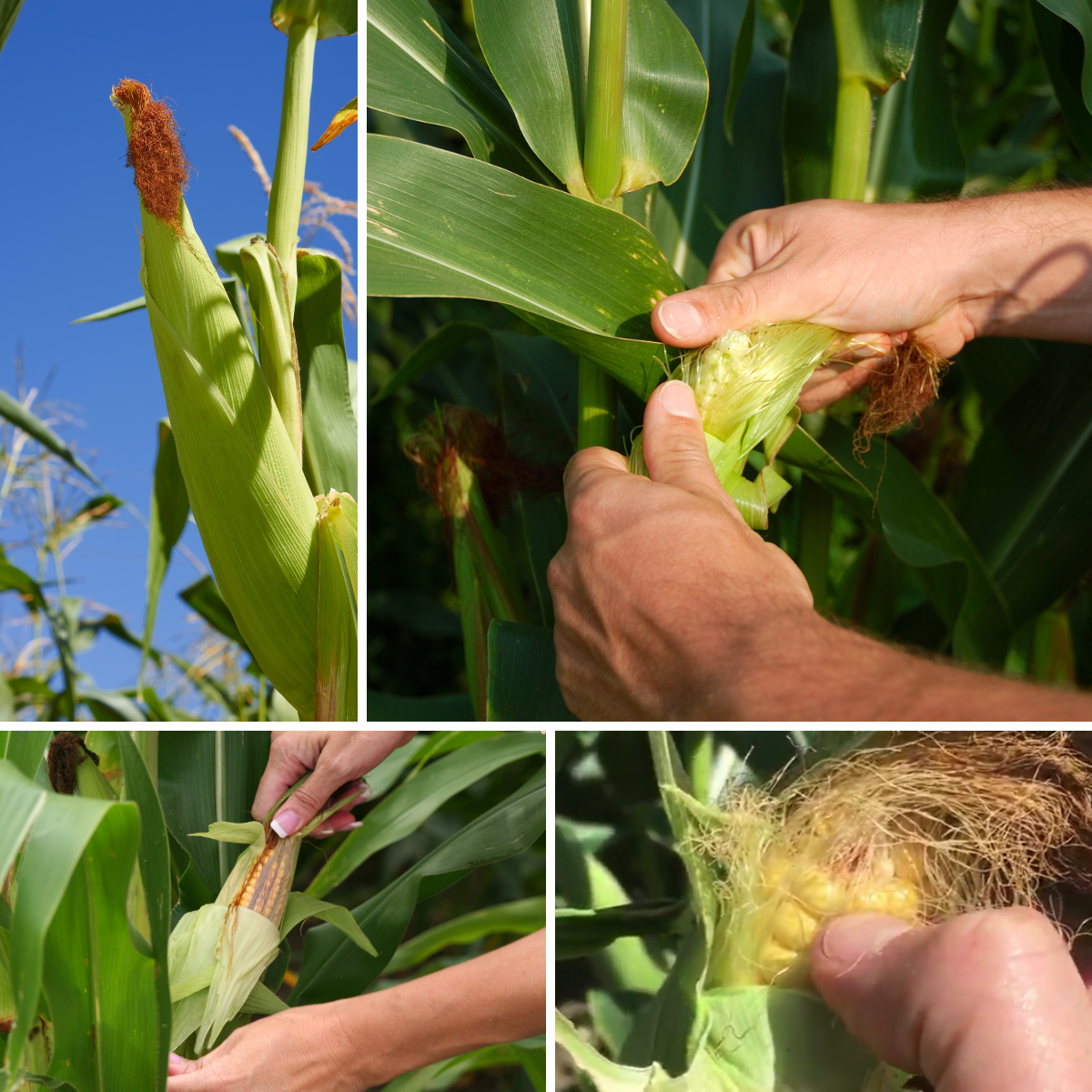 grid of four images of checking if a corn cob is ripe